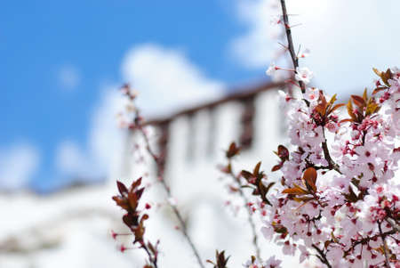 Blooming tree in front of blurred Potala palace wall in Lhasa, Tibet