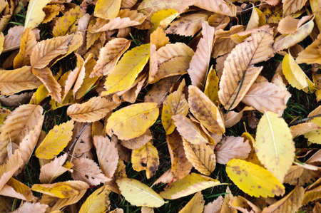 Yeallow and brown autumn fall leaves background Stock Photo