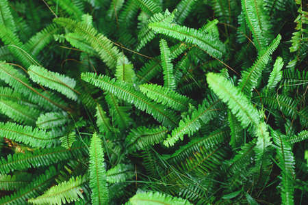 The Sword Fern leaves background. Nephrolepis exaltata at forest. Stock Photo
