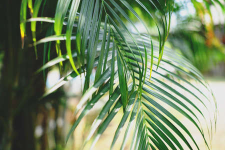 Tropical palm leaves, blurred background. Sunlight on palm leaves at summer.