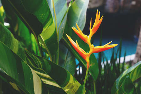 Yellow heliconia flower in the garden. Tropical summer forest view.