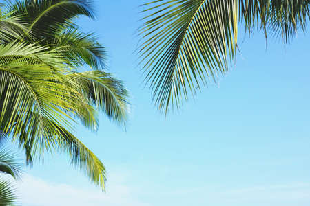 Coconut palm tree leaves with blue sky, tropical palms at sunny summer day. Free copy space.