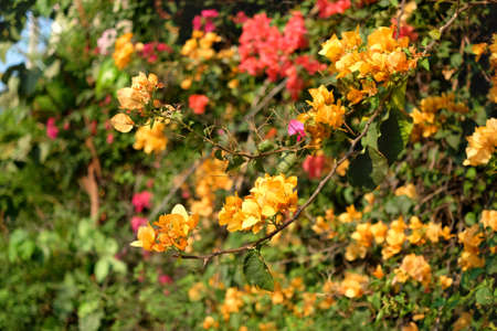 Branch of beautiful yellow bougainvillea flowers, blurred background.