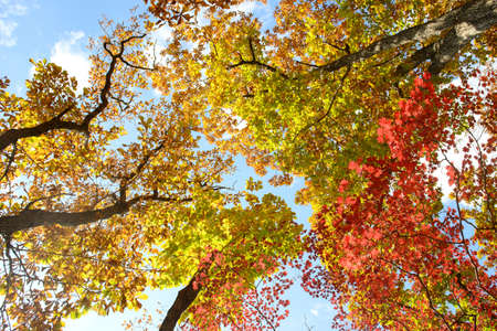 Bright colored red, yellow and green oak and maple leaves on trees in the autumn forest. Bottom view of the tops of trees. 免版税图像