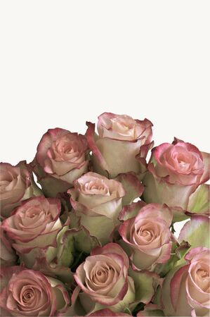 Beautiful pink roses isolated on white background with space for text photo