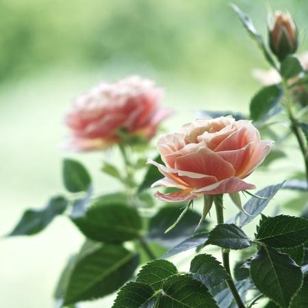 roses garden: Roses on a bush in a garden. Shallow DOF