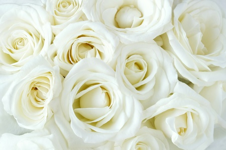 Soft full blown white roses as a background photo