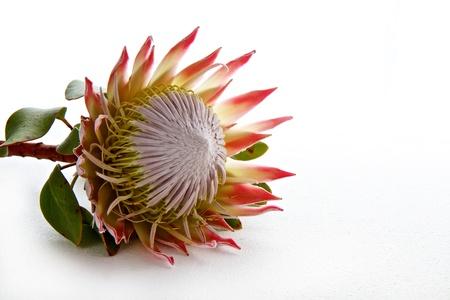 Protea bloem op een witte achtergrond met ruimte voor tekst Stockfoto