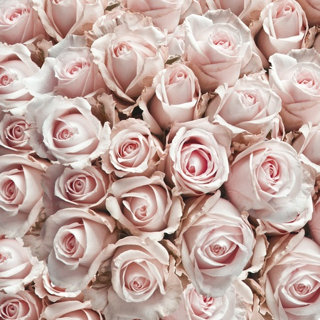 Pink vintage roses  as a square background  photo