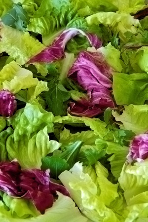 lettuces: Salad greens with various lettuces Stock Photo