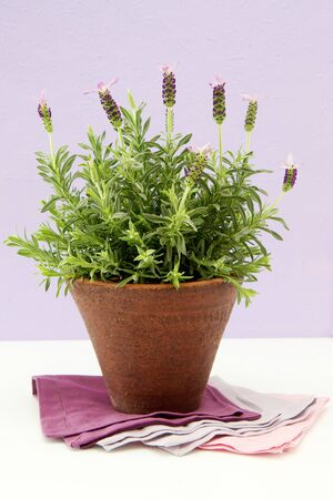 Lavender bush in pot photo