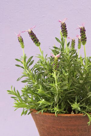 Lavender plant in a terracotta pot with colorful background photo