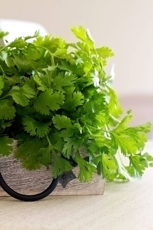 coriander: Coriander in a bunch and picked fresh