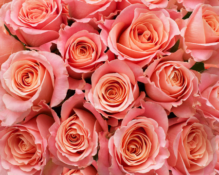 Roses as a background Stock Photo