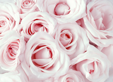 Pink roses as a background