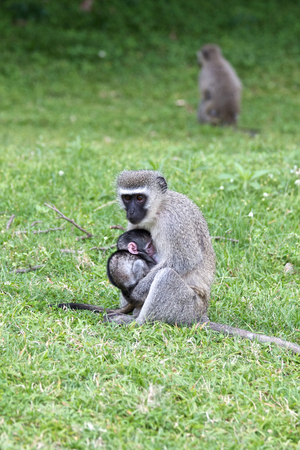 Vervet Monkey with young baby Stock Photo