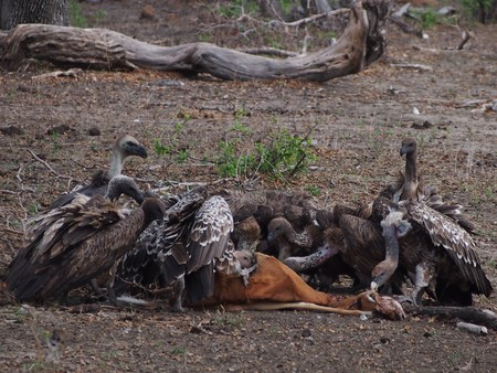 scavenging: Feeding Vultures Stock Photo