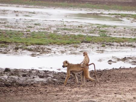 baboon: Baby Baboon Piggyback