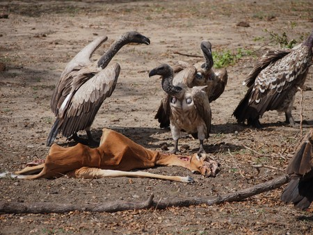 scavenging: Vultures Eat an Impala