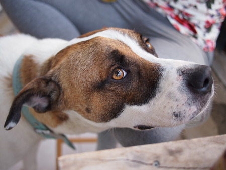 A cute white and brown pet dog with orange  brown eyes