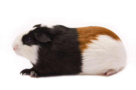 Adorable pure-bred guinea pig  photo