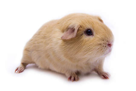 experimentation: Beautiful creme pure-bred guinea pig