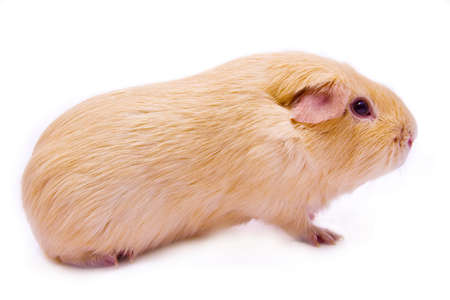 Cute creme pure-bred guinea pig Stock Photo - 10310115