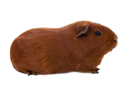 dignified: Dignified red guinea pig - isolated