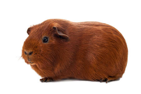 guinea: Red guinea pig on the wihte background