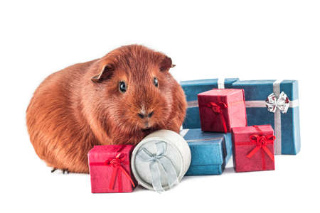 Guinea pig as a gift Stock Photo