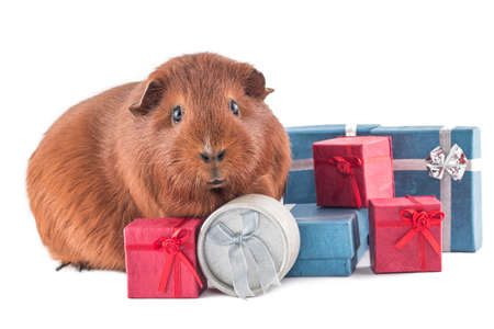christmas guinea pig: Animal is giving gifts - xmas Stock Photo