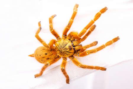 Pterinochilus의 murinus 독 거미 독이있는 거미