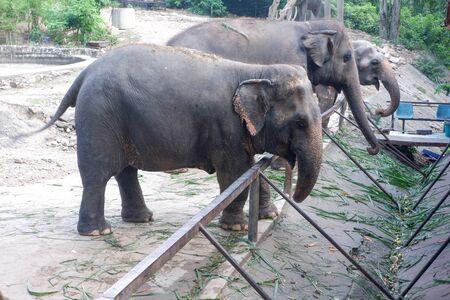 Many elephants in the Thailand zoo Stockfoto