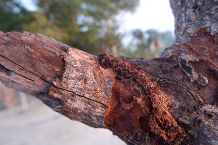 Tree eats with termites And continue to be mixed