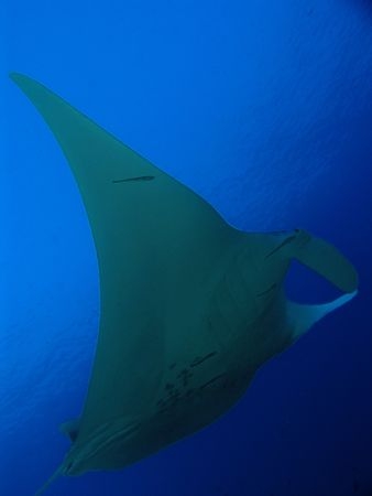 Manta ray in Similan Islands, Thailand photo