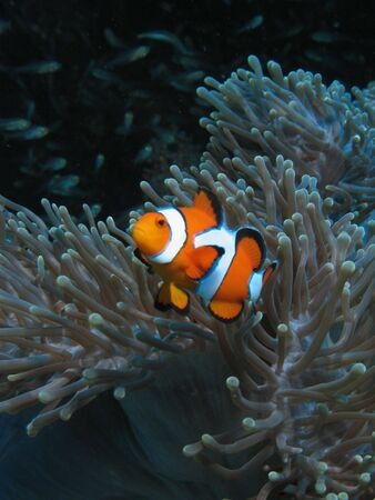 Clown fish in aneome - Similan Islands, Thailand Stock Photo