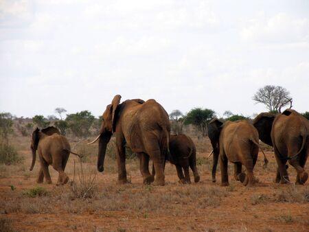 tsavo: The famous red elephants of Tsavo, Kenya Stock Photo