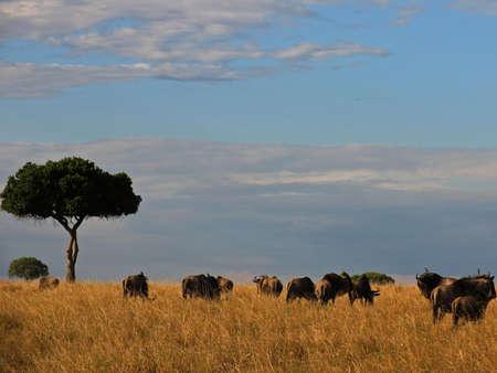 Wilderbeast Migration in masia mari park, Kenya