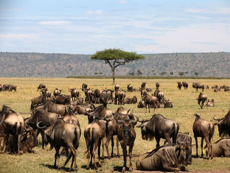Wilderbeast Migration in the Masai Mara