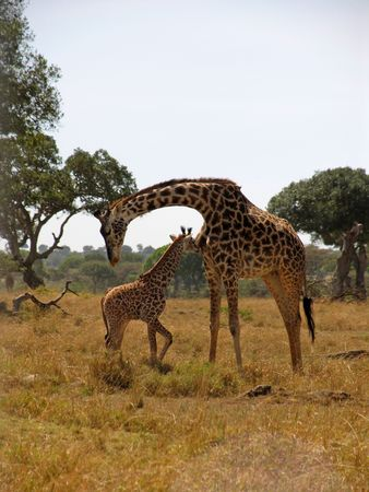 Mother and  Giraffe in the masai mara park