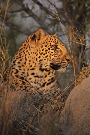 Resting Leopard on a terminte mound in Sabie Sands Stock Photo