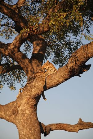 Leopard in a tree, Sabie Sands, South Africa photo