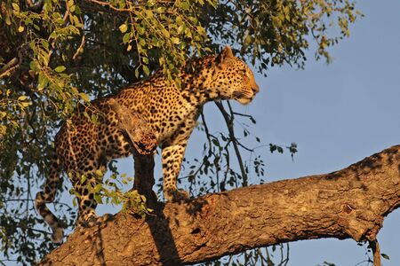 Leopard in a tree in Sabie Sands, SA Stock Photo - 1884941