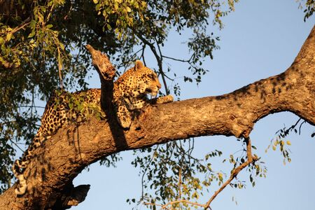 Leopard in a tree in Sabie Sands, SA photo
