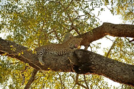 Leopard in a tree in Sabie Sands, SA Stock Photo - 1885011