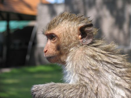 dring: Monkey dring out after a dip, Thailand Stock Photo
