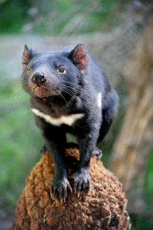 Tasmanian Devil photoed in Tasmainia, Australia Stock Photo - 2435997