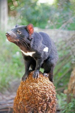 Tasmanian Devil photoed in Tasmainia, Australia