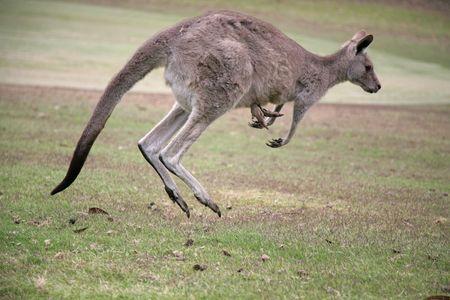 Canguro en movimiento en Angelsea Campo de golf  Foto de archivo - 2436003