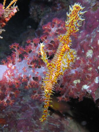ghost rock: Ornate Ghost pipefish taken at Richelieu Rock,Thailand Stock Photo